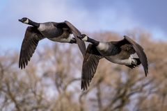 A pair of flying branta geese stock photos