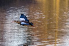 A beautiful scene of Egyptian goose on a water Stock Photos