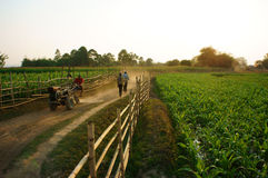 Beautiful scene with path, wooden fence, green vegetable field Royalty Free Stock Images