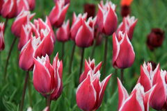 Beautiful scene with pink and white striped tulips in garden Royalty Free Stock Images