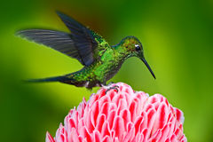 Beautiful scene with shiny bird. Green hummingbird Green-crowned Brilliant, Heliodoxa jacula, near pink bloom with pink flower bac Royalty Free Stock Image
