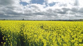 Springtime agricultural scenery in the English countryside. A beautiful scene with some canola crops around the English countryside of the United Kingdom Royalty Free Stock Photography