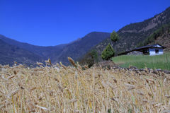 Beautiful scene. Traditional nepali house located in high altitude in Dolakha, Nepal with barley in field. Clean and lovely environment with many beautiful scene Stock Images