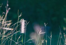 Beautiful scene with waving wild grass of the morning sun, dark background royalty free stock photography