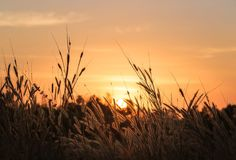 Beautiful scene with waving wild grass on a sunset stock images