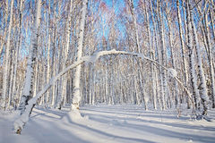 Beautiful scene of winter forest in sunny day Royalty Free Stock Images