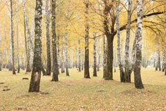 Beautiful scene in yellow autumn birch forest in october with fallen yellow autumn leaves Stock Photos