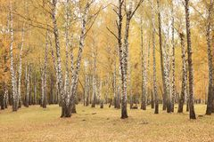 Beautiful scene in yellow autumn birch forest in october with fallen yellow autumn leaves Stock Image