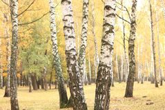 Beautiful scene in yellow autumn birch forest in october with fallen yellow autumn leaves Royalty Free Stock Photos