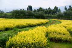 Beautiful scenery. Photo by Yangjiming,shooting in the August 10,2008,which is located in Yunnan Province(China)scenery,the on-screen yellow,light yellow and Stock Photo