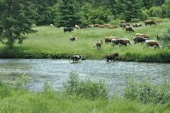 Beautiful scenery with animals in Romania. Cows grazing near a mountain river in Bukovina, Romania stock photos