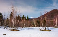 Beautiful scenery with birch trees on snowy slope. Lovely mountainous landscape with snowy peak in the distance in springtime stock images
