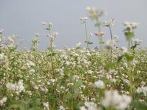 Beautiful scenery of buckwheat field showing white buckwheat flowers in bloom. Close-up Stock Photos