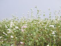 Beautiful scenery of buckwheat field showing white buckwheat flowers in bloom. Close-up Royalty Free Stock Photography