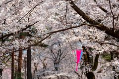 Beautiful scenery of Cherry Blossom Festival Sakura Matsuri with a traditional Japanese lantern hanging under flourishing Saku. Ra trees in Omiya Park, on a stock images