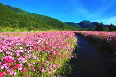 Beautiful scenery of cosmos flowers with path Royalty Free Stock Images