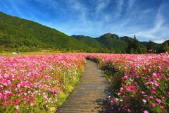 Beautiful scenery of cosmos flowers with path Stock Photos