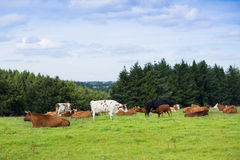 Beautiful scenery of field and hills landscape with cows on a Stock Photography