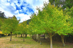 Beautiful scenery of green with yellow Ginkgo trees. In autumn,Maidenhair trees Stock Photos