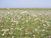 Beautiful scenery of large buckwheat field Royalty Free Stock Photos