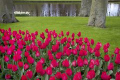 Beautiful scenery with pink tulips stock image
