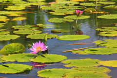 Beautiful scenery of purple waterlily flowers and leaves. In the pond in summer Stock Image