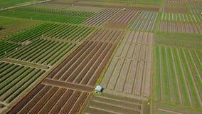 Beautiful scenery of red onion farmland stock video footage