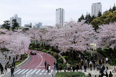 Beautiful scenery of Sakura Matsuri Festival in Roppongi. With crowds of tourists walking on sidewalk promenades under romantic pink cherry blossom trees Royalty Free Stock Photos