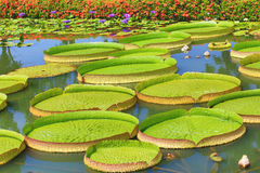 Beautiful scenery of santa cruz waterlily flowers and leaves. In the pond in summer Stock Photo