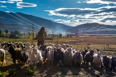 The Beautiful Scenery: Sheep and Woman stock images