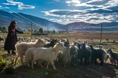 The Beautiful Scenery: Sheep and Woman royalty free stock images