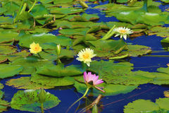 Beautiful scenery of waterlily flowers and leaves. In the pond in summer Stock Image