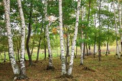 Beautiful scenery of white birches in autum 6 royalty free stock photos