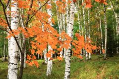 Beautiful scenery of white birches in autum 7 royalty free stock image