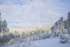 Beautiful scenery of a winter forest. Stock Image