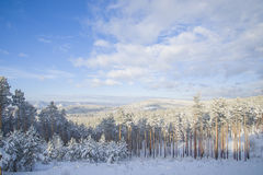 Beautiful scenery of a winter forest. Royalty Free Stock Image