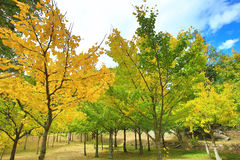 Beautiful scenery of yellow Ginkgo trees. In autumn,Maidenhair trees Stock Image