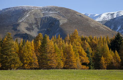 Beautiful scenery of yellow pine wood Rakaia Gorge southern alps Royalty Free Stock Photos