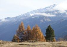 Beautiful scenery of yellow pine wood, southern alps mountain va Stock Image