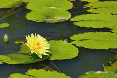 Beautiful scenery of yellow waterlily flower and leaves. In the pond in summer Stock Image