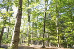 Beautiful scenic summer beech forest Stock Images