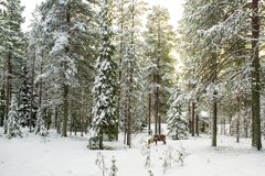 Beautiful Scenic View Of Snowy Forest With Tall Pine Trees And A Stock Photo