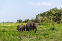 Beautiful scenic view of wild elephants in natural habitat, Asia, sri. Lanka, minneriya stock images