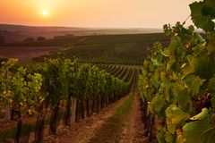 Beautiful scenic vineyards at sunset royalty free stock photography