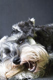 Beautiful Schnauzer Baby with double teeth royalty free stock images
