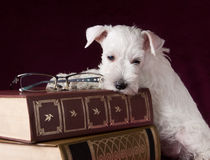 Beautiful schnauzer puppy with glasses and books Stock Photos