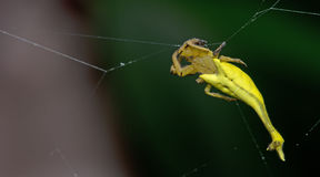 Beautiful Scorpion-tailed Spider on cobweb, Jumping Spider in Thailand Royalty Free Stock Photo