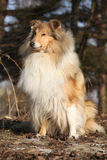 Beautiful scotch collie in the forest Stock Image