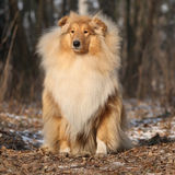 Beautiful scotch collie in the forest Royalty Free Stock Photos