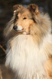 Beautiful scotch collie in the forest Royalty Free Stock Image
